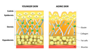 Skin layers: epidermis, dermis, collagen and elastin